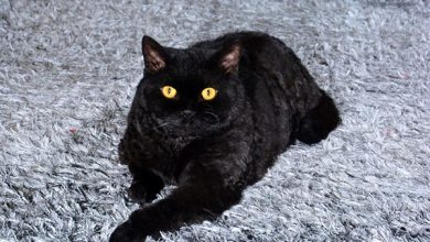 black cat laying on rug