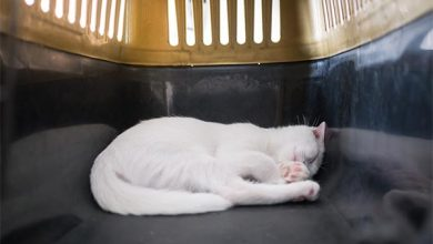 white cat asleep in carrier