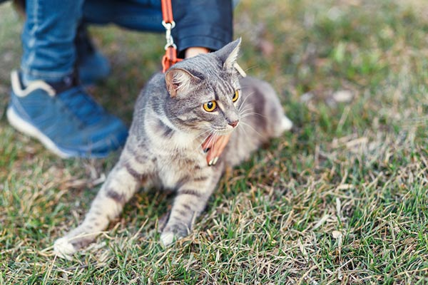 cat in a harness going for a walki
