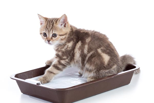 a tabby cat in a litterbox