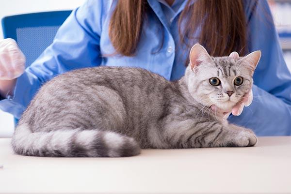 cat with veterinary