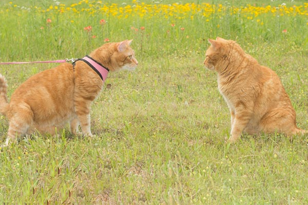 two ginger cats meeting each other