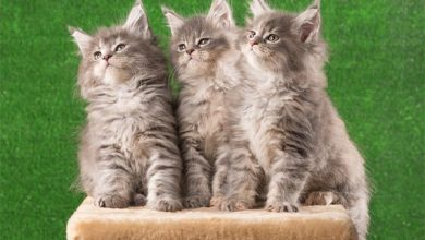 Three gray tabby kittens