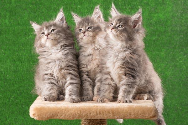 Three gray tabby kittens