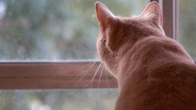Ginger cat looking through a window