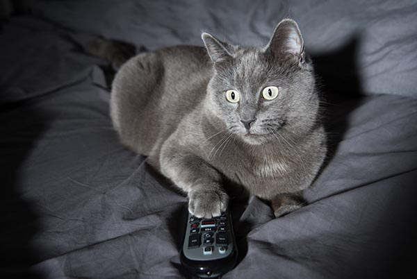 gray cat on couch with remote
