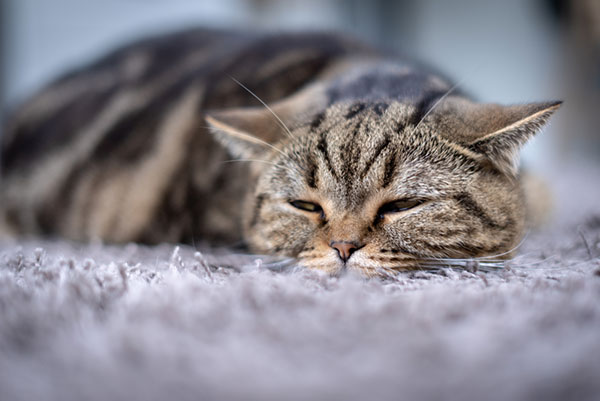 cat resting looking pained