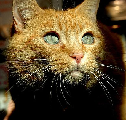 a ginger foster cat